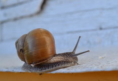 Snail. Ulitochka looked beautiful to visit Stock Image