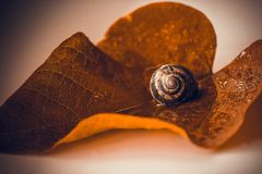 Snail is a unique living creature that is protected by a shell and can live not only in the wild, but also at home. stock image