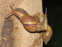 Snail up the tree Royalty Free Stock Images