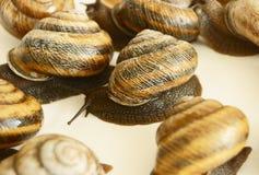 Snail. Vine, live, land mollusc Royalty Free Stock Photos