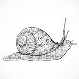 Snail. Vintage hand drawn vector Stock Photo
