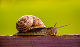 Snail waiting for a miracle. Royalty Free Stock Photography