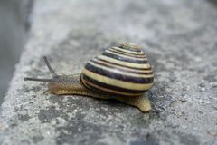 Snail walking on autumn leaves stock photography