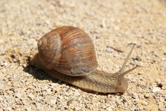 Snail Royalty Free Stock Photo