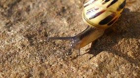 Snail walking Royalty Free Stock Image