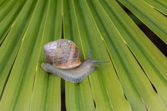 Snail walking Royalty Free Stock Photo
