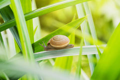 Snail walking on leaf Stock Photography