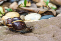 Snail walking on stone Stock Photography