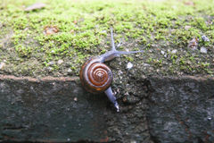 Snail walking on the wall. Royalty Free Stock Photography