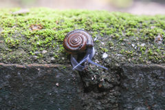 Snail walking on the wall. Stock Images