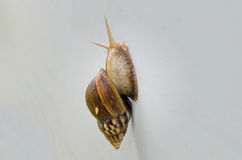 Snail walking on the wall Royalty Free Stock Image