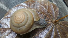 Snail walking on wet leaf after the rain. Snail walking on wet leaf in the garden Royalty Free Stock Photos