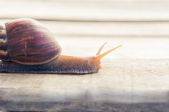 Snail walking Royalty Free Stock Images