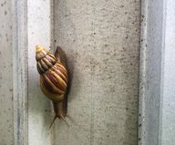 Snail in the wall. Royalty Free Stock Photos