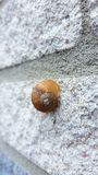 Snail on the wall Royalty Free Stock Images