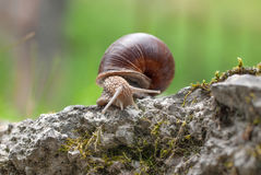 Snail on a wall Royalty Free Stock Photos