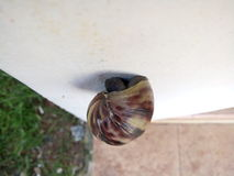 Snail on the wall. Snails climb the wall for migrate before and after `hibernation Stock Photos