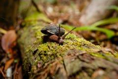 Snail wanders along mossy fallen tree trunk in Muir Woods Royalty Free Stock Photography