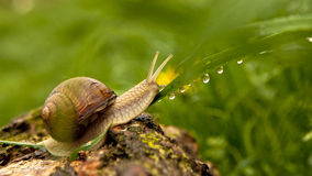 Snail and water drops Stock Images