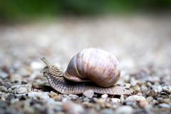 Snail. A snail on the way Royalty Free Stock Photo