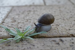 Snail and weed on sidewalk Royalty Free Stock Photography