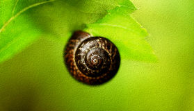 Snail weighs on the big leaf. Royalty Free Stock Image
