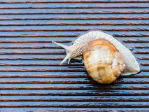 Snail on the wet terrace Royalty Free Stock Photography