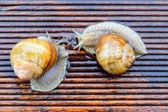 Snail on the wet terrace Stock Photos
