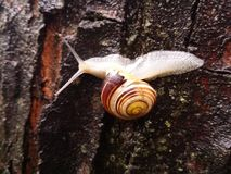 Snail. On the wet tree after rain Royalty Free Stock Photography