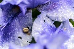 Snail on wet violet iris petals. Snail on violet wet iris flower petals nacro closeup outdoor Royalty Free Stock Image