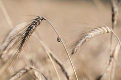 Snail on wheat Stock Photos