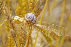 Snail on ripe wheat ears. Summer background Royalty Free Stock Image