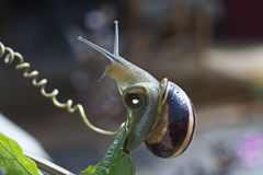 Snail. Where is the food, where is it Royalty Free Stock Images
