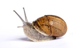 Snail on white Stock Photos