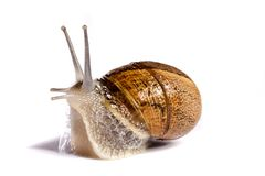 Snail on white Stock Photo