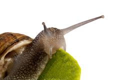 Snail on white Stock Photography