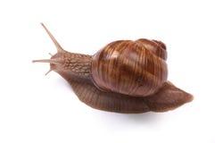 Snail on white royalty free stock photo