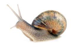 Snail on white Stock Image