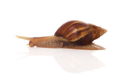 Snail on a white background Stock Images