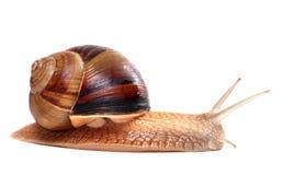 Snail on white background Royalty Free Stock Photos