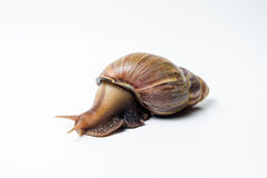 Snail. On a white background Royalty Free Stock Photo