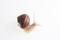 Snail on white background. Details of single snail on white background Stock Photo