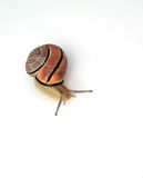 Snail on a white background Stock Photo