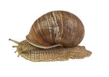Snail on white background isolated Stock Photo