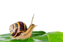 Snail on white background Royalty Free Stock Photography