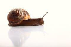 Snail on white background Stock Photo
