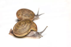 Snail. On a white background are moving slowly Royalty Free Stock Photos