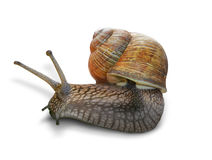 Snail on white background Royalty Free Stock Images