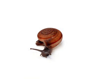 Snail with white background Royalty Free Stock Photos
