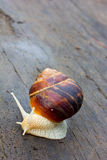 Snail with a white body moves along an old black wooden plank after rain Stock Images